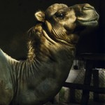 """Camel"", 2010"